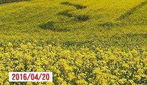 去年飯山の菜の花が満開になったのは何時?