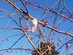 sakura20200406.jpg